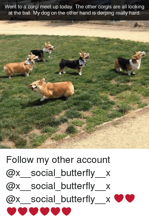 corgy: Went to a corgi meet up today. The other corgis are all looking  at the ball. My dog on the other hand is derping really hard Follow my other account @x__social_butterfly__x @x__social_butterfly__x @x__social_butterfly__x ❤️❤️❤️❤️❤️❤️❤️❤️
