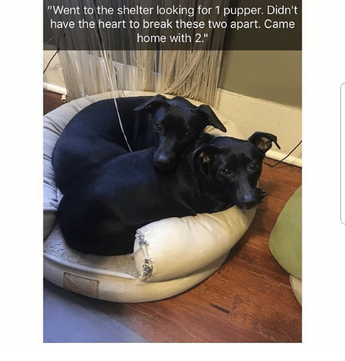 """Memes, Break, and Heart: """"Went to the shelter looking for 1 pupper. Didn't  have the heart to break these two apart. Came  home with 2."""""""