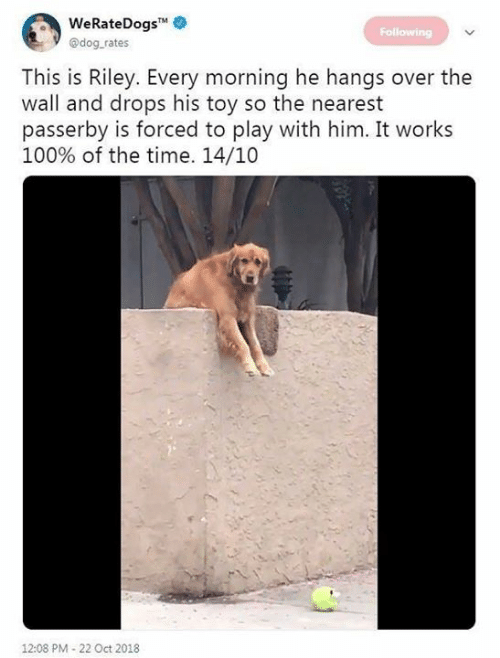 Dog Rates: WeRateDogs  @dog rates  Following  This is Riley. Every morning he hangs over the  wall and drops his toy so the nearest  asserby is forced to play with him. It works  100% of the time. 14/10  12:08 PM-22 Oct 2018