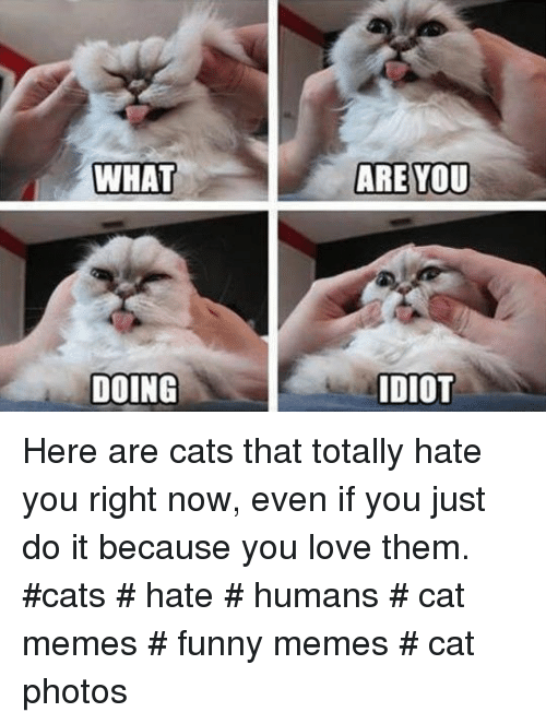 Cat Memes Funny: WHAT  ARE YOU  DOING  DIOT Here are cats that totally hate you right now, even if you just do it because you love them.  #cats # hate # humans # cat memes # funny memes # cat photos