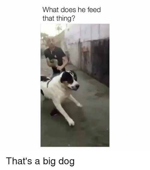 big dog: What does he feed  that thing? That's a big dog