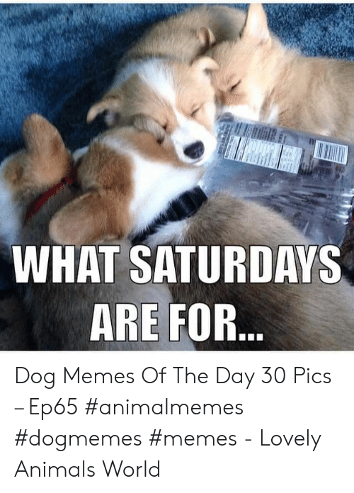 Animals, Memes, and World: WHAT SATURDAYS  ARE FOR... Dog Memes Of The Day 30 Pics – Ep65 #animalmemes #dogmemes #memes - Lovely Animals World