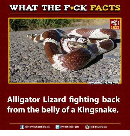 kingsnake: WHAT THE FCK FACTS  WHAT  ImageSource Wide Open Spaces  Alligator Lizard fighting back  from the belly of a Kingsnake.  WhatTheFFacts  FB.com/WhatThe Facts  adiplywtffacts