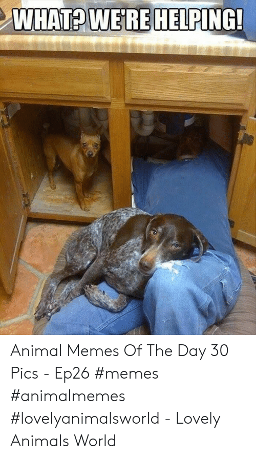 Animals, Memes, and Animal: WHAT WEREHELPING! Animal Memes Of The Day 30 Pics - Ep26 #memes #animalmemes #lovelyanimalsworld - Lovely Animals World