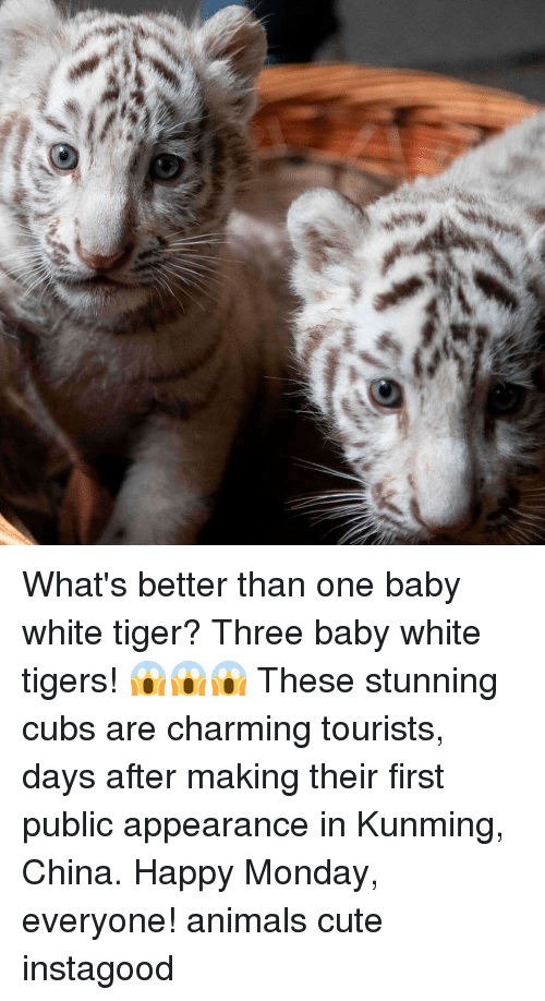 Animals, Cute, and Memes: What's better than one baby white tiger? Three baby white tigers! 😱😱😱 These stunning cubs are charming tourists, days after making their first public appearance in Kunming, China. Happy Monday, everyone! animals cute instagood