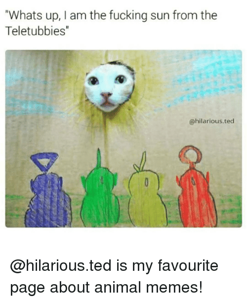 "Animals Meme: Whats up, I am the fucking sun from the  Teletubbies""  @hilarious ted @hilarious.ted is my favourite page about animal memes!"