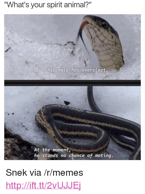 "Memes, Animal, and Http: ""What's your spirit animal?""  This male has overslept.  At the moment  he stands no chance of mating. <p>Snek via /r/memes <a href=""http://ift.tt/2vUJJEj"">http://ift.tt/2vUJJEj</a></p>"