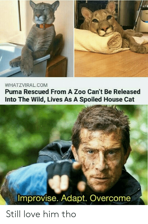 Love, Puma, and House: WHATZVIRAL.COM  Puma Rescued From A Zoo Can't Be Released  Into The Wild, Lives As A Spoiled House Cat  Improvise. Adapt. Overcome Still love him tho