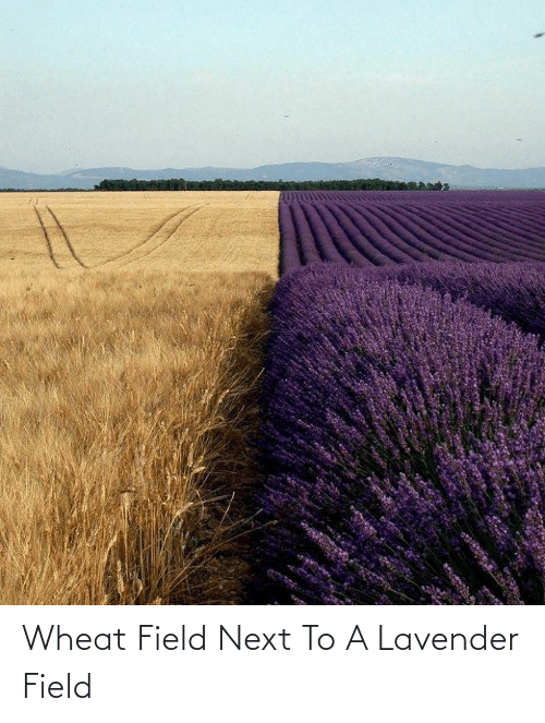 Lavender: Wheat Field Next To A Lavender Field