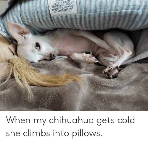 pillows: When my chihuahua gets cold she climbs into pillows.