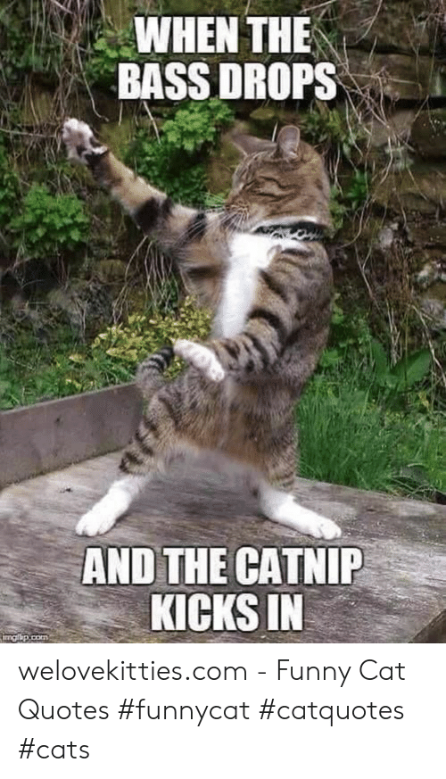 Cats, Funny, and Quotes: WHEN THE  BASS DROPS  AND THE CATNIP  KICKS IN  imgip.com welovekitties.com - Funny Cat Quotes #funnycat #catquotes #cats