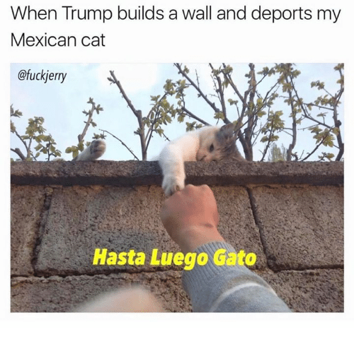 mexican cat: When Trump builds a wall and deports my  Mexican cat  @fuckjerry  Hasta Luego Gato