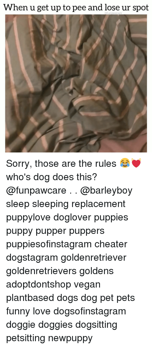 Dogs, Funny, and Love: When u get up to pee and lose ur spot Sorry, those are the rules 😂💓 who's dog does this? @funpawcare . . @barleyboy sleep sleeping replacement puppylove doglover puppies puppy pupper puppers puppiesofinstagram cheater dogstagram goldenretriever goldenretrievers goldens adoptdontshop vegan plantbased dogs dog pet pets funny love dogsofinstagram doggie doggies dogsitting petsitting newpuppy