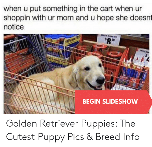 Puppies, Golden Retriever, and Puppy: when u put something in the cart when ur  shoppin with ur mom and u hope she doesnt  notice  BEGIN SLIDESHOW Golden Retriever Puppies: The Cutest Puppy Pics & Breed Info