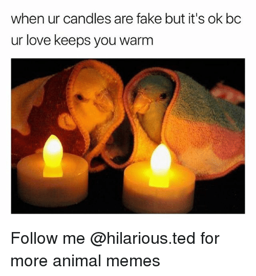 Fake, Funny, and Love: when ur candles are fake but it's ok bc  ur love keeps you warm Follow me @hilarious.ted for more animal memes