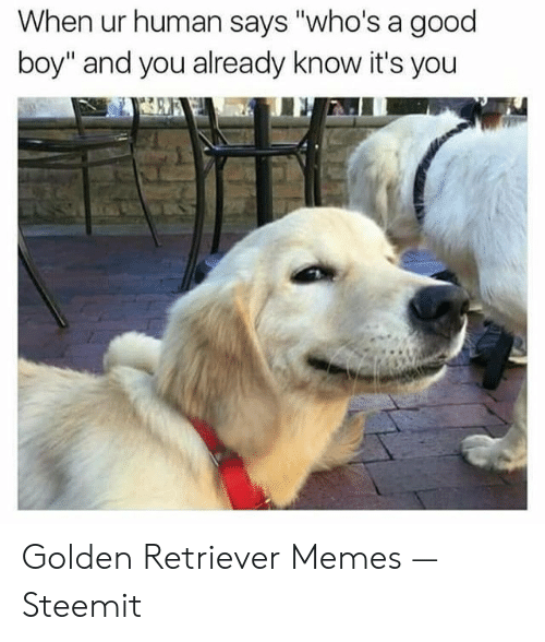 """Memes, Golden Retriever, and Good: When ur human says """"who's a good  boy"""" and you already know it's you Golden Retriever Memes — Steemit"""