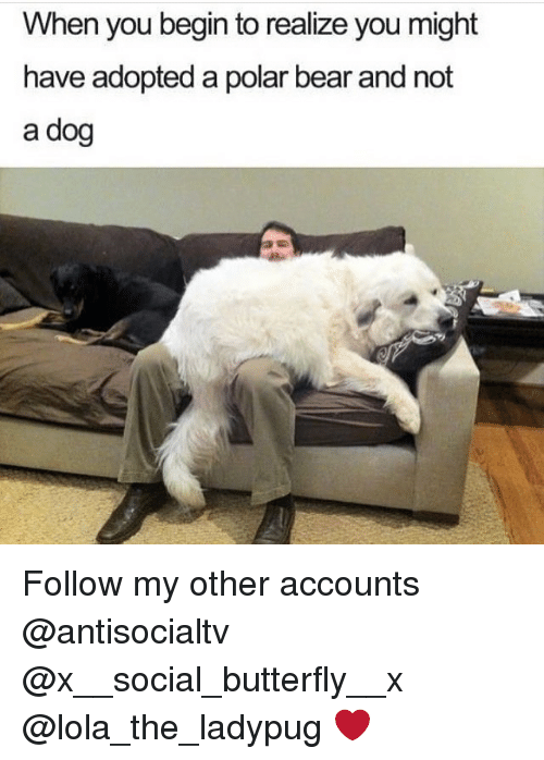 polarized: When you begin to realize you might  have adopted a polar bear and not  a dog Follow my other accounts @antisocialtv @x__social_butterfly__x @lola_the_ladypug ❤️