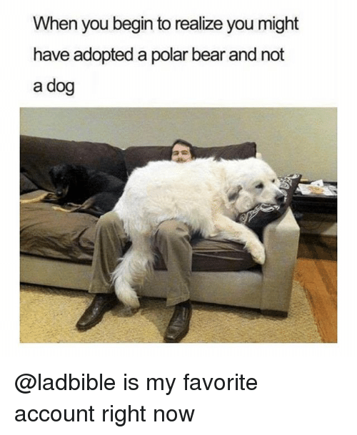 bearings: When you begin to realize you might  have adopted a polar bear and not  a dog @ladbible is my favorite account right now