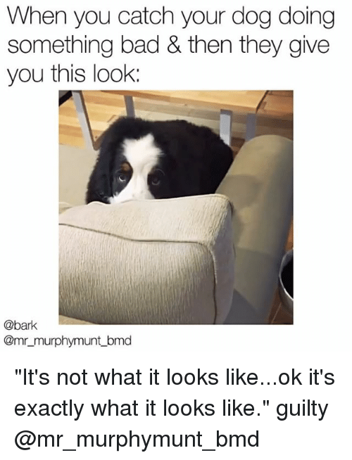 "Bad, Memes, and 🤖: When you catch your dog doing  something bad & then they give  you this look:  @bark  @mr_murphymunt_bmd ""It's not what it looks like...ok it's exactly what it looks like."" guilty @mr_murphymunt_bmd"