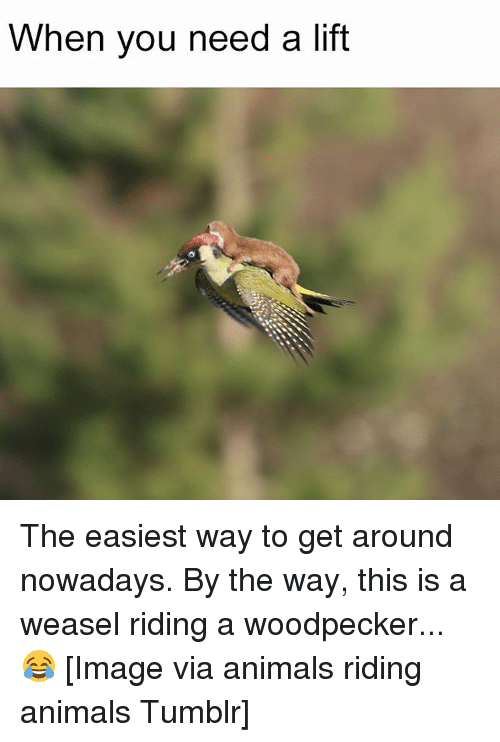 weasels: When you need a lift The easiest way to get around nowadays. By the way, this is a weasel riding a woodpecker...😂 [Image via animals riding animals Tumblr]