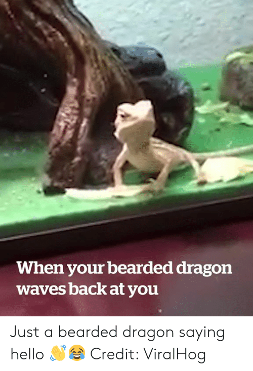 Bearded Dragon: When your bearded dragon  waves back at you Just a bearded dragon saying hello 👋😂  Credit: ViralHog