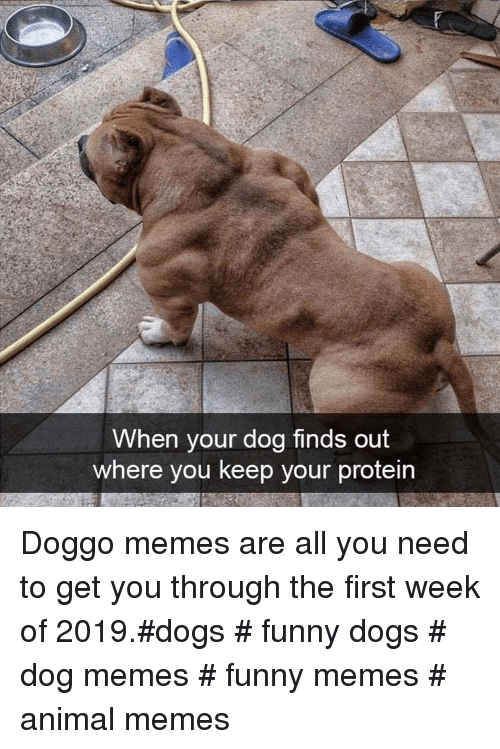 Doggo Memes: When your dog finds out  where you keep your protein Doggo memes are all you need to get you through the first week of 2019.#dogs # funny dogs # dog memes # funny memes # animal memes