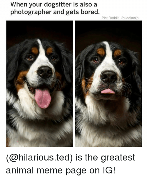 Animal Meme: When your dogsitter is also a  photographer and gets bored.  Pic: Reddit u/budokanjh (@hilarious.ted) is the greatest animal meme page on IG!