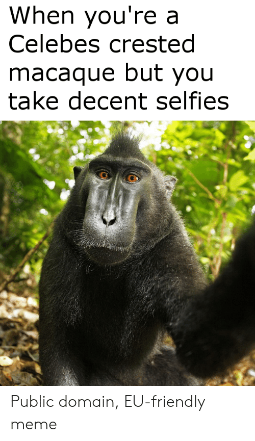 Meme, Reddit, and Domain: When you're a  Celebes crested  macaque but you  take decent selfies Public domain, EU-friendly meme