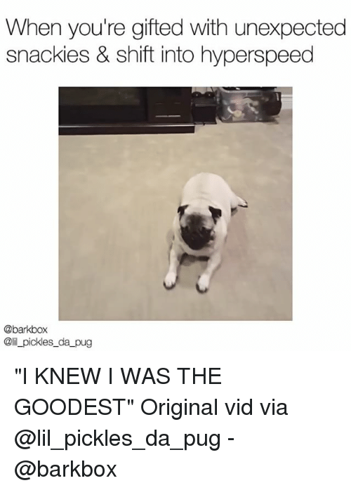 "Pugly: When you're gifted with unexpected  snackies & shift into hyperspeed  @barkbox  @il_pickles_da pug ""I KNEW I WAS THE GOODEST"" Original vid via @lil_pickles_da_pug - @barkbox"