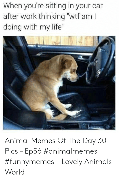 "Animals, Life, and Memes: When you're sitting in your car  after work thinking ""wtf am I  doing with my life"" Animal Memes Of The Day 30 Pics – Ep56 #animalmemes #funnymemes - Lovely Animals World"
