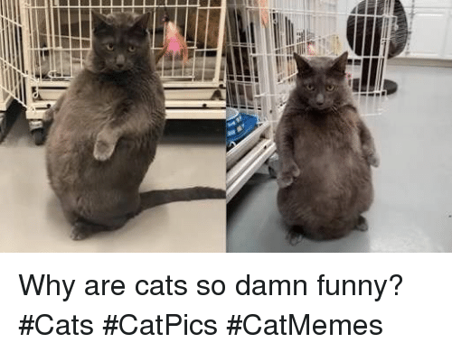 Cats, Funny, and Why: Why are cats so damn funny? #Cats #CatPics #CatMemes