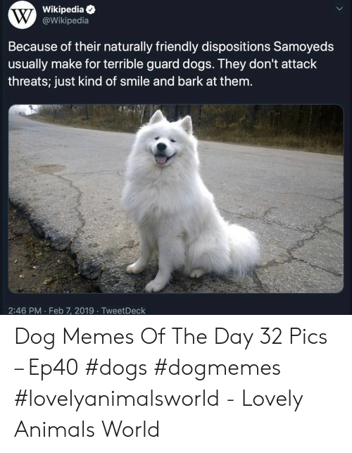Animals, Dogs, and Memes: Wikipedia  @Wikipedia  Because of their naturally friendly dispositions Samoyeds  usually make for terrible guard dogs. They don't attack  threats; just kind of smile and bark at them.  2:46 PM Feb 7, 2019 TweetDeck Dog Memes Of The Day 32 Pics – Ep40 #dogs #dogmemes #lovelyanimalsworld - Lovely Animals World