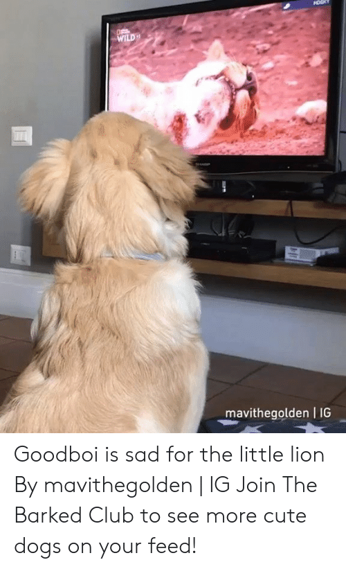 cute dogs: WILD  mavithegolden I IG Goodboi is sad for the little lion By mavithegolden   IG  Join The Barked Club to see more cute dogs on your feed!