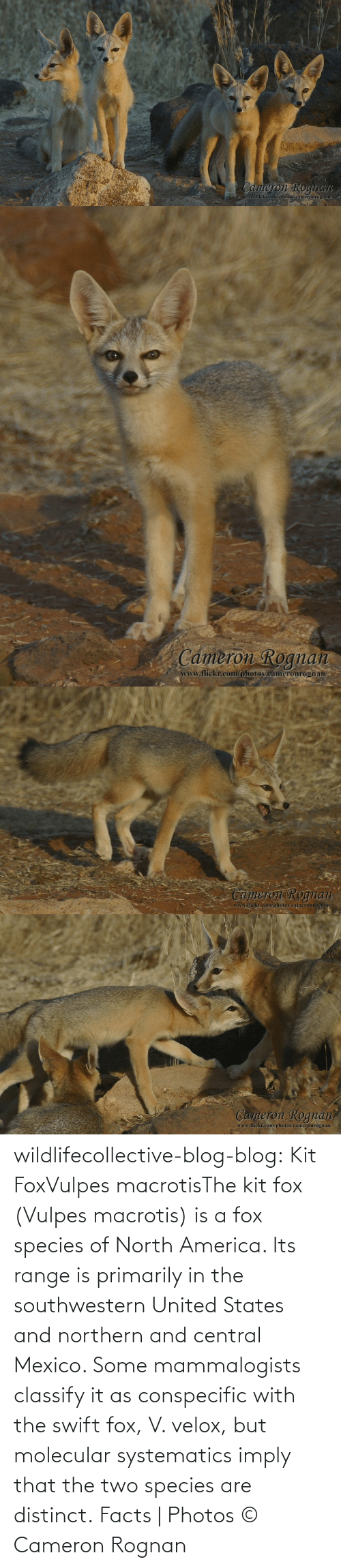 Wiki: wildlifecollective-blog-blog:  Kit FoxVulpes macrotisThe kit fox (Vulpes macrotis) is a fox species of North America. Its range is primarily in the southwestern United States and northern and central Mexico. Some mammalogists classify it as conspecific with the swift fox, V. velox, but molecular systematics imply that the two species are distinct. Facts | Photos © Cameron Rognan