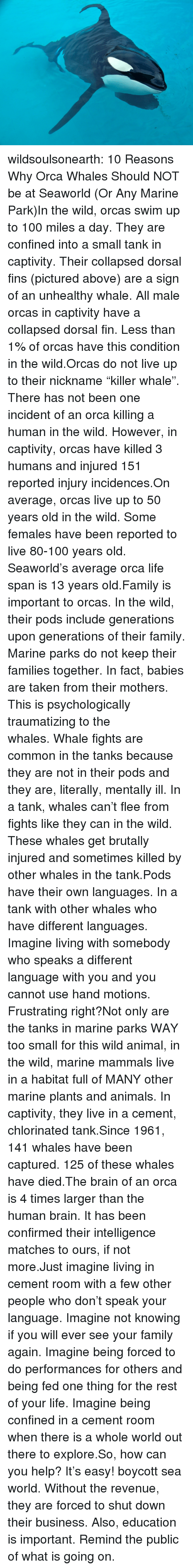 """Anaconda, Animals, and Family: wildsoulsonearth:  10 Reasons Why Orca Whales Should NOT be at Seaworld (Or Any Marine Park)In the wild, orcas swim up to 100 miles a day. They are confined into a small tank in captivity.Their collapsed dorsal fins (pictured above) are a sign of an unhealthy whale. All male orcas in captivity have a collapsed dorsal fin. Less than 1% of orcas have this condition in the wild.Orcas do not live up to their nickname""""killer whale"""". There has not been one incident of an orca killing a human in the wild. However, in captivity, orcas have killed 3 humans and injured 151 reported injury incidences.On average, orcas live up to 50 years old in the wild. Some females have been reported to live 80-100 years old. Seaworld's average orca life span is 13 years old.Family is important to orcas. In the wild, their pods include generations upon generations of their family. Marine parks do not keep their families together. In fact, babies are taken from their mothers. This is psychologically traumatizing to the whales.Whale fights are common in the tanks because they are not in their pods and they are, literally, mentally ill. In a tank, whales can't flee from fights like they can in the wild. These whales get brutally injured and sometimes killed by other whales in the tank.Pods have their own languages. In a tank with other whales who have different languages. Imagine living with somebody who speaks a different language with you and you cannot use hand motions. Frustrating right?Not only are the tanks in marine parks WAY too small for this wild animal, in the wild, marine mammals live in a habitat full of MANY other marine plants and animals. In captivity, they live in a cement, chlorinated tank.Since 1961, 141 whales have been captured. 125 of these whales have died.The brain of an orca is 4 times larger than the human brain. It has been confirmed their intelligence matches to ours, if not more.Just imagine living in cement room with a few other peopl"""