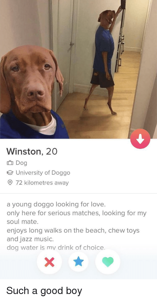 soul mate: Winston, 20  Dog  e University of Doggo  O 72 kilometres away  a young doggo looking for love.  only here for serious matches, looking for my  soul mate.  enjoys long walks on the beach, chew toys  and jazz music.  dog water is mv drink of choice. Such a good boy