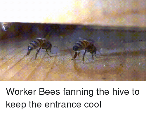 Cool, Bees, and Hive: Worker Bees fanning the hive to keep the entrance cool