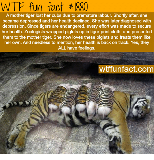 Wtf, Lost, and Cubs: WTF fun fact #1880  A mother tiger lost her cubs due to premature labour. Shortly after, she  became depressed and her health declined. She was later diagnosed with  depression. Since tigers are endangered, every effort was made to secure  her health. Zoologists wrapped piglets up in tiger-print cloth, and presented  them to the mother tiger. She now loves these piglets and treats them like  her own. And needless to mention, her health is back on track. Yes, they  ALL have feelings.  wtffunfact.com