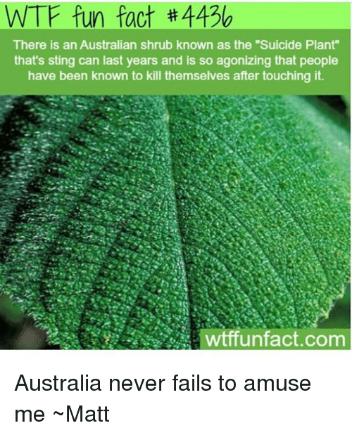 "Stinged: WTF fun fact #4436  There is an Australian shrub known as the ""Suicide Plant""  that's sting can last years and is so agonizing that people  have been known to kill themselves after touching it  wtffunfact.com Australia never fails to amuse me ~Matt"