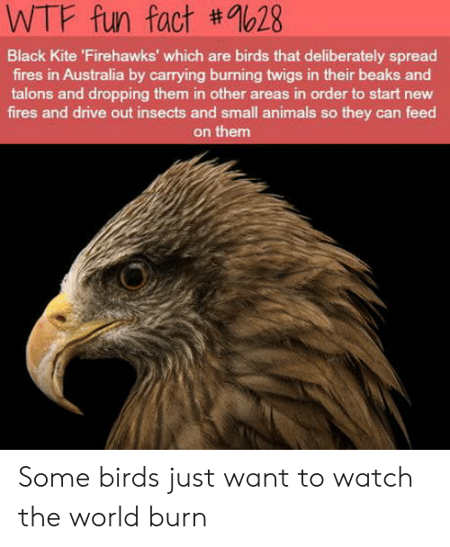 Animals, Wtf, and Australia: WTF fun fact #9628  Black Kite 'Firehawks' which are birds that deliberately spread  fires in Australia by carrying burning twigs in their beaks and  talons and dropping them in other areas in order to start new  fires and drive out insects and small animals so they can feed  on them Some birds just want to watch the world burn