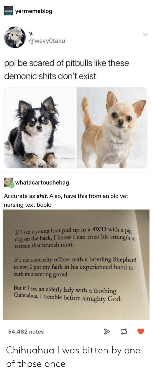 Nursing: yermemeblog  V.  @wavyOtaku  ppl be scared of pitbulls like these  demonic shits don't exist  whatacartouchebag  Accurate as shit. Also, have this from an old vet  nursing text book  If I see a young lout pull up in a 4WD with a pig  dog on the back, I know I can trust his strength to  restrain that brutish mutt.  If I see a security officer with a bristling Shepherd  in tow, I put my faith in his experienced hand to  curb its slavering growl  But if I see an elderly lady with a frothing  Chihuahua, I tremble before almighty God.  54,482 notes Chihuahua I was bitten by one of those once