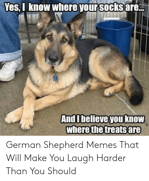 Memes, German Shepherd, and Yes: Yes,I know where your socks are  AndIbelieve you know  where the treatsare German Shepherd Memes That Will Make You Laugh Harder Than You Should