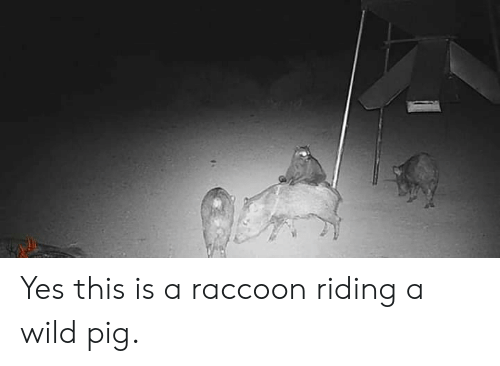Raccoon: Yes this is a raccoon riding a wild pig.