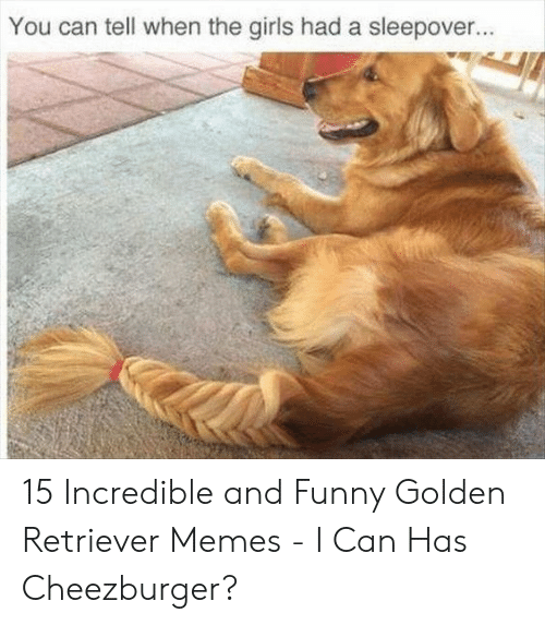 Funny, Girls, and Memes: You can tell when the girls had a sleepover. 15 Incredible and Funny Golden Retriever Memes - I Can Has Cheezburger?