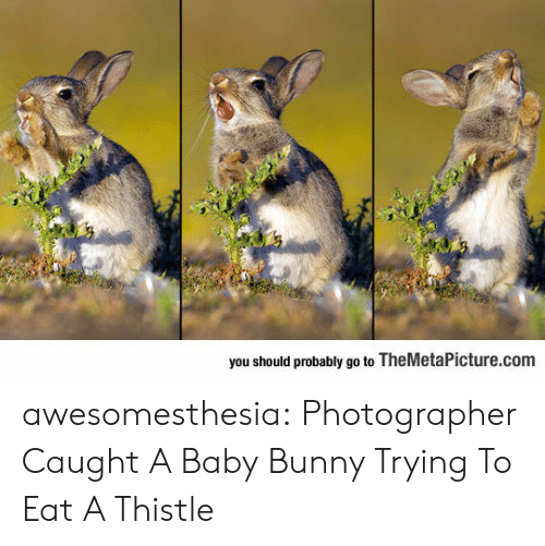 bunny: you should probably go to TheMetaPicture.com awesomesthesia:  Photographer Caught A Baby Bunny Trying To Eat A Thistle