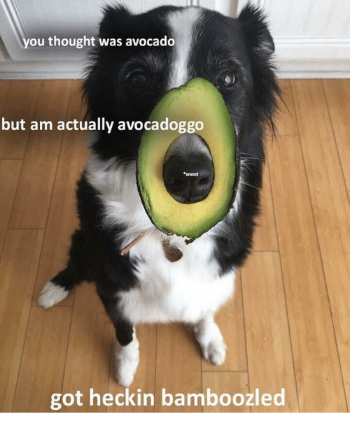Memes, Avocado, and Thought: you thought was avocado  but am actually avocadoggo  snoot  got heckin bamboozled