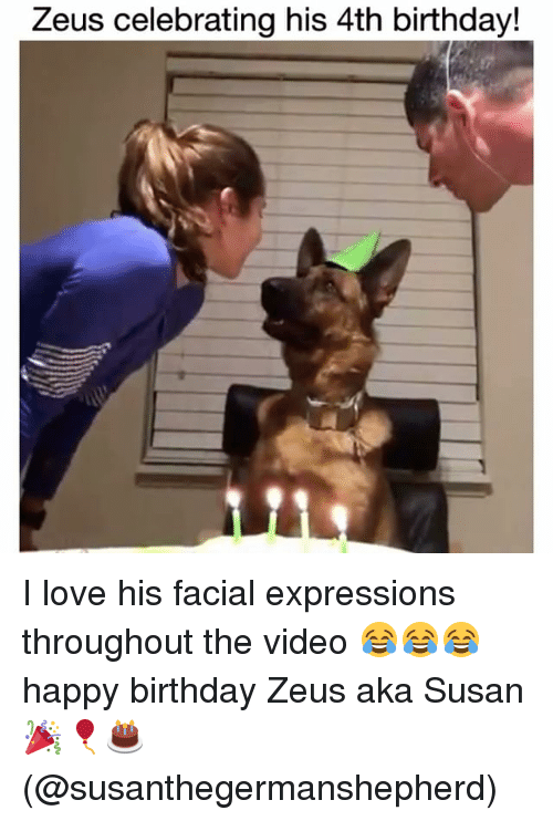 Birthday, Love, and Memes: Zeus celebrating his 4th birthday! I love his facial expressions throughout the video 😂😂😂 happy birthday Zeus aka Susan 🎉🎈🎂 (@susanthegermanshepherd)