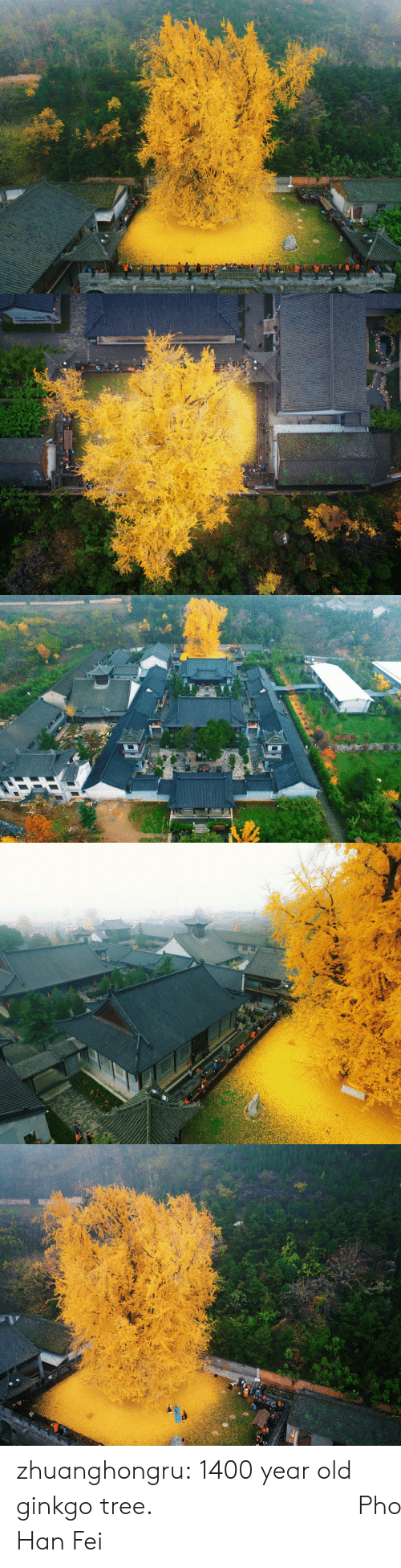 Af, Tumblr, and Blog: zhuanghongru:   1400 year old ginkgo tree.  地點:陝西省西安市古觀音禪寺  Photography: Han Fei
